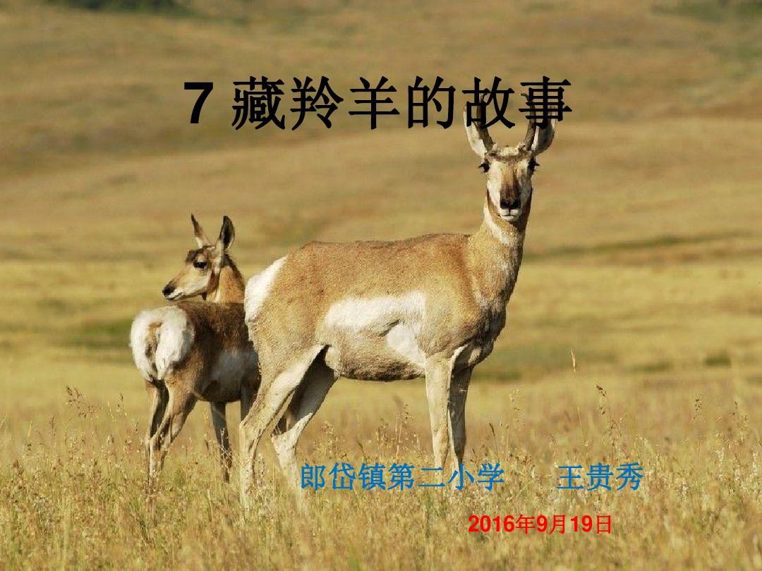 西师大版语文五上第二单元《藏羚羊的故事》ppt课件5