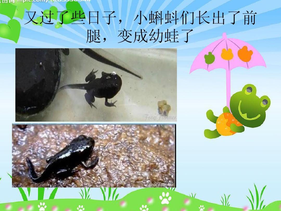 又过了些日子,小蝌蚪们长出了前 腿,变成幼蛙了图片