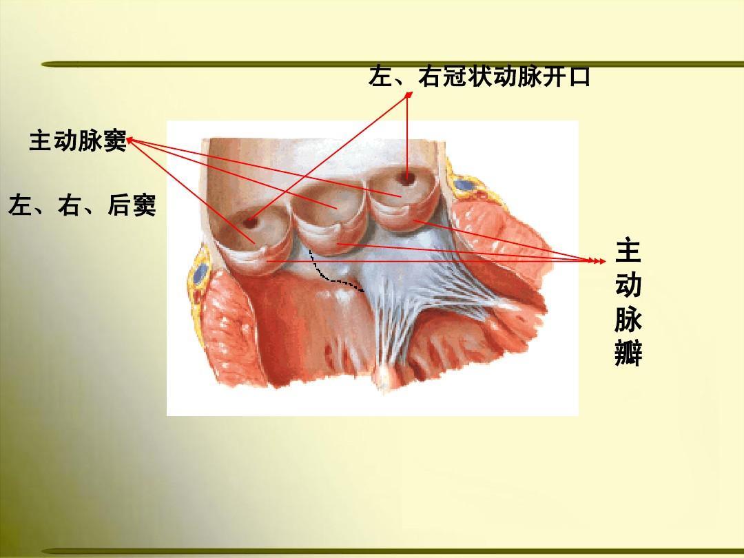 人体生理解剖学教材_循环系统总论 心脏ppt  据全国医学院校高职高专教材 《人体解剖学》