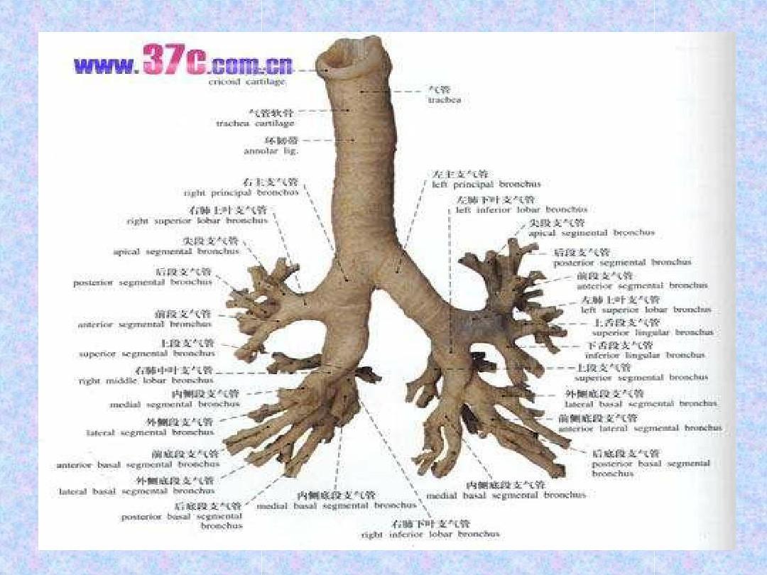 人体系统_人体呼吸系统ppt