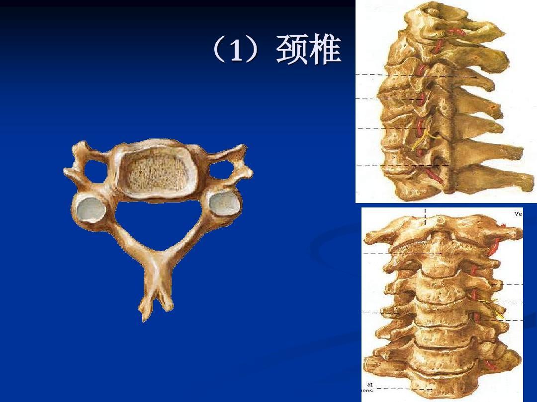 人体解剖学_人体解剖学__运动系统-骨骼ppt