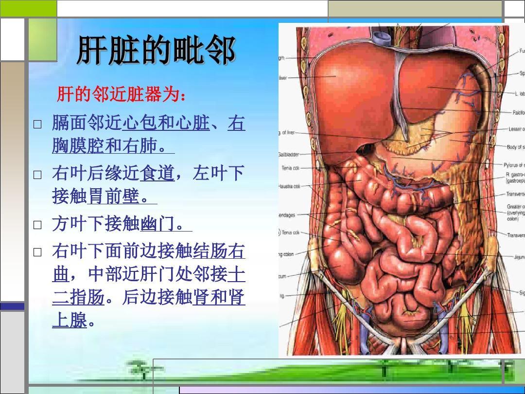 人体五脏六腑图解_肝叶切除手术配合    肝脏是人体内脏里最大的器官,是人体最大的消化