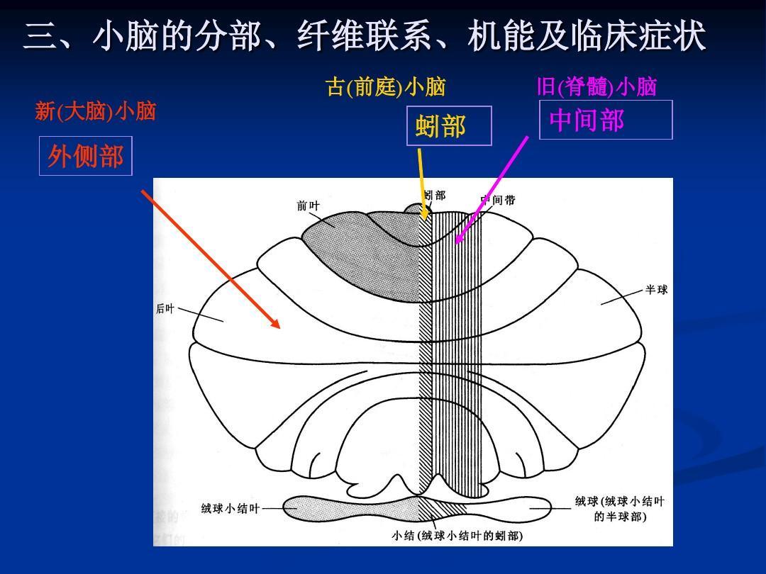 三,小脑的分部,纤维联系,机能及临床症状 古(前庭)小脑 新(大脑)小脑图片