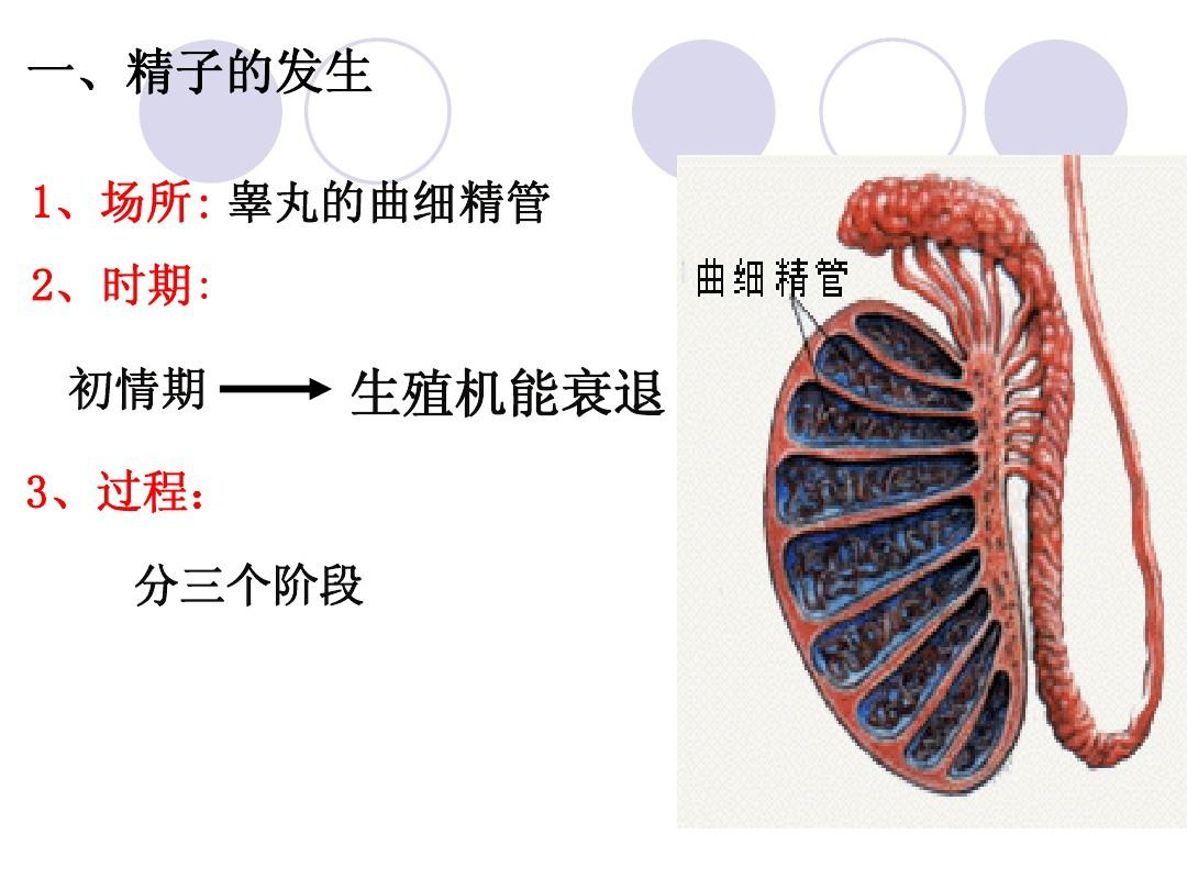 男性生殖系统(彩色带图)