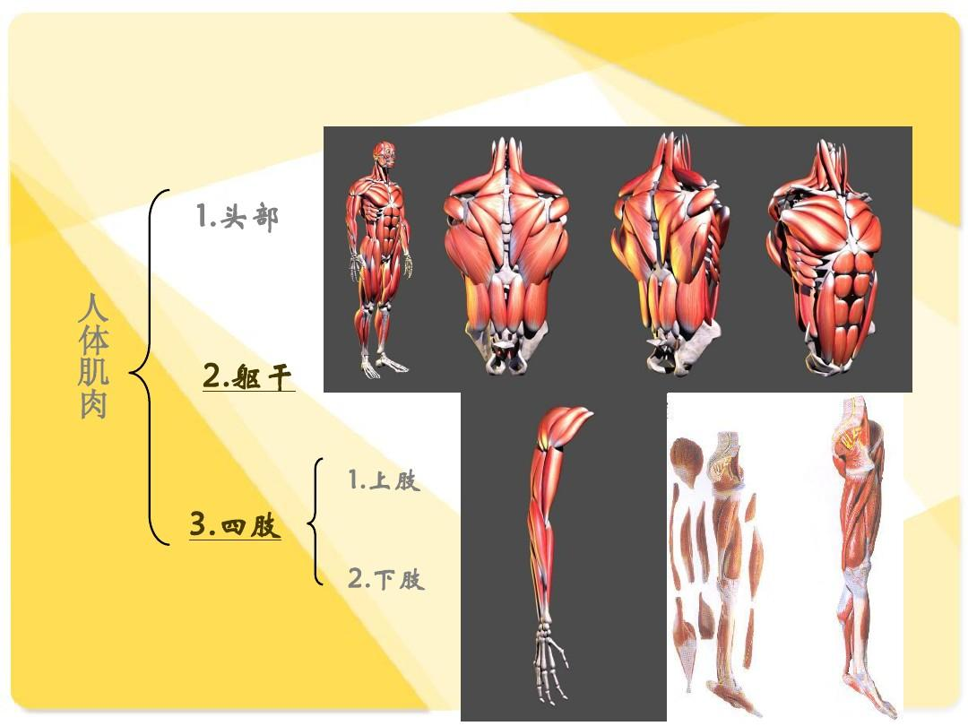 人体肉照_骨骼与肌肉 人体解剖生理学ppt