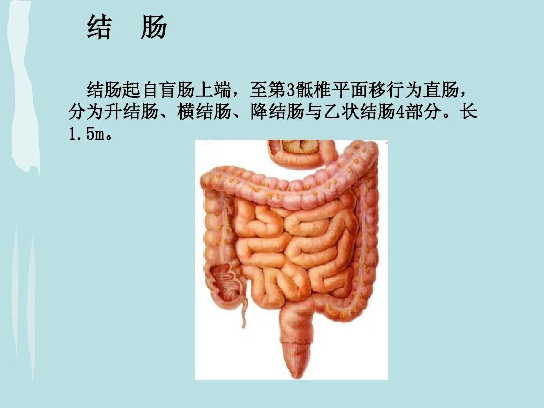 结肠解剖与生理ppt