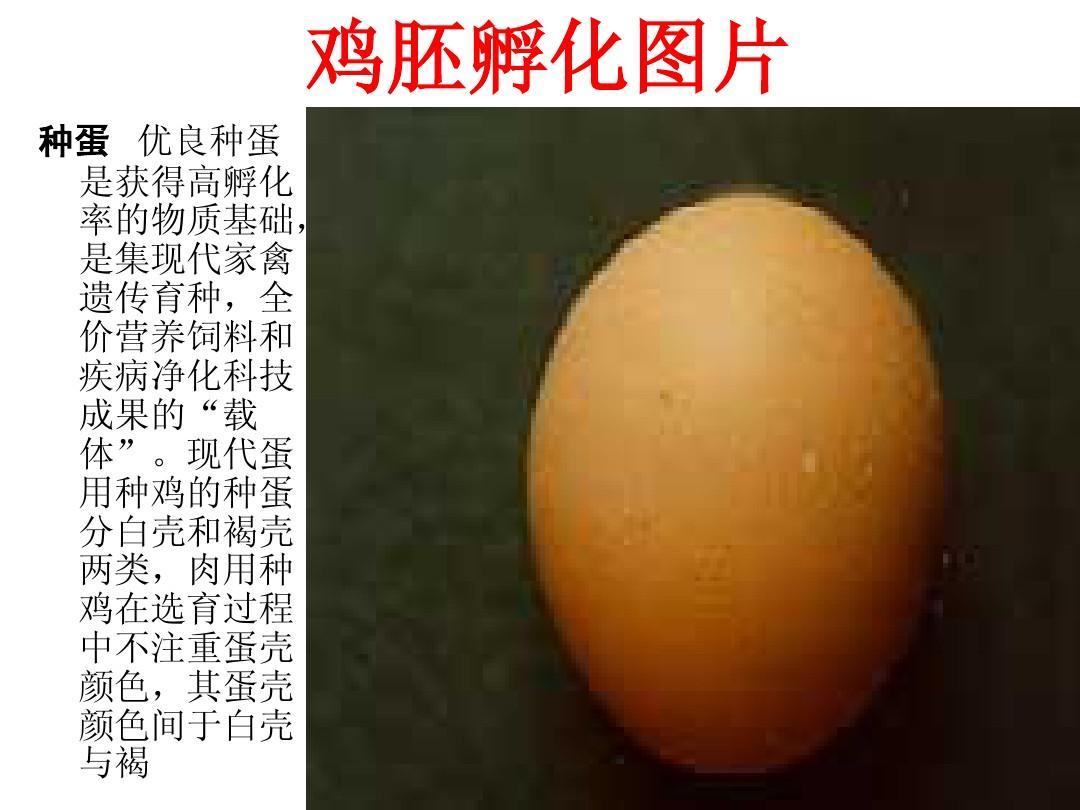 鸡胚发育图解PPT