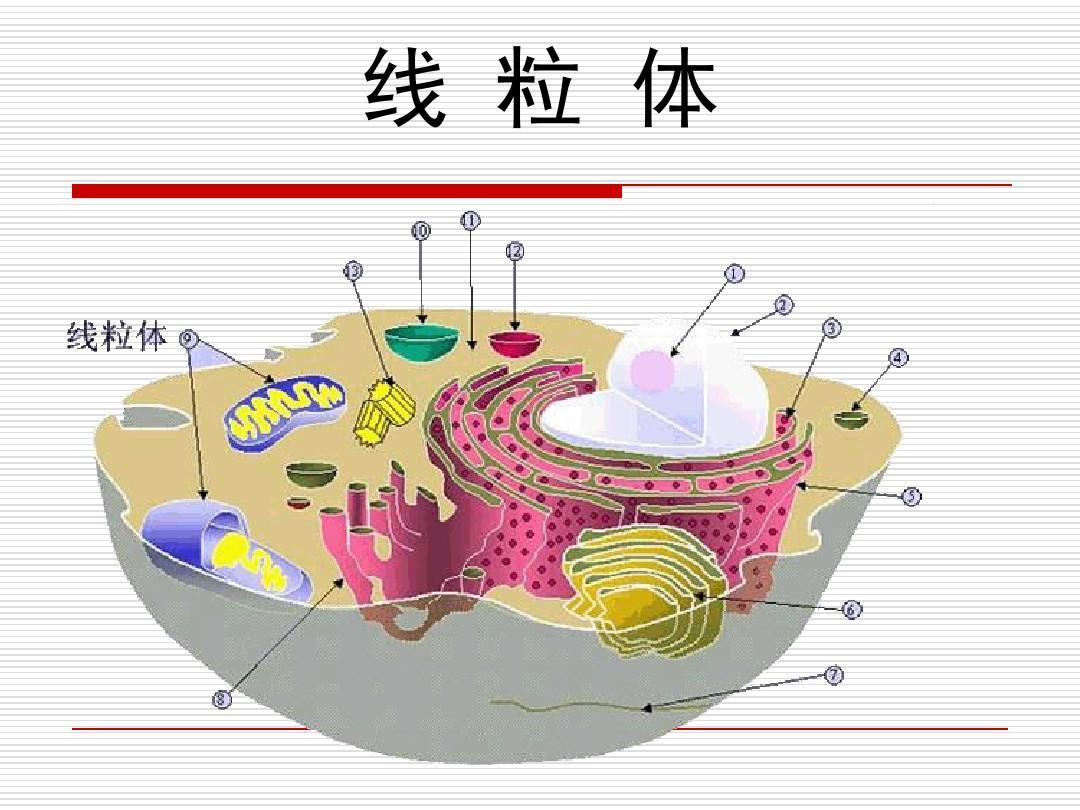 线粒体-药学细胞学