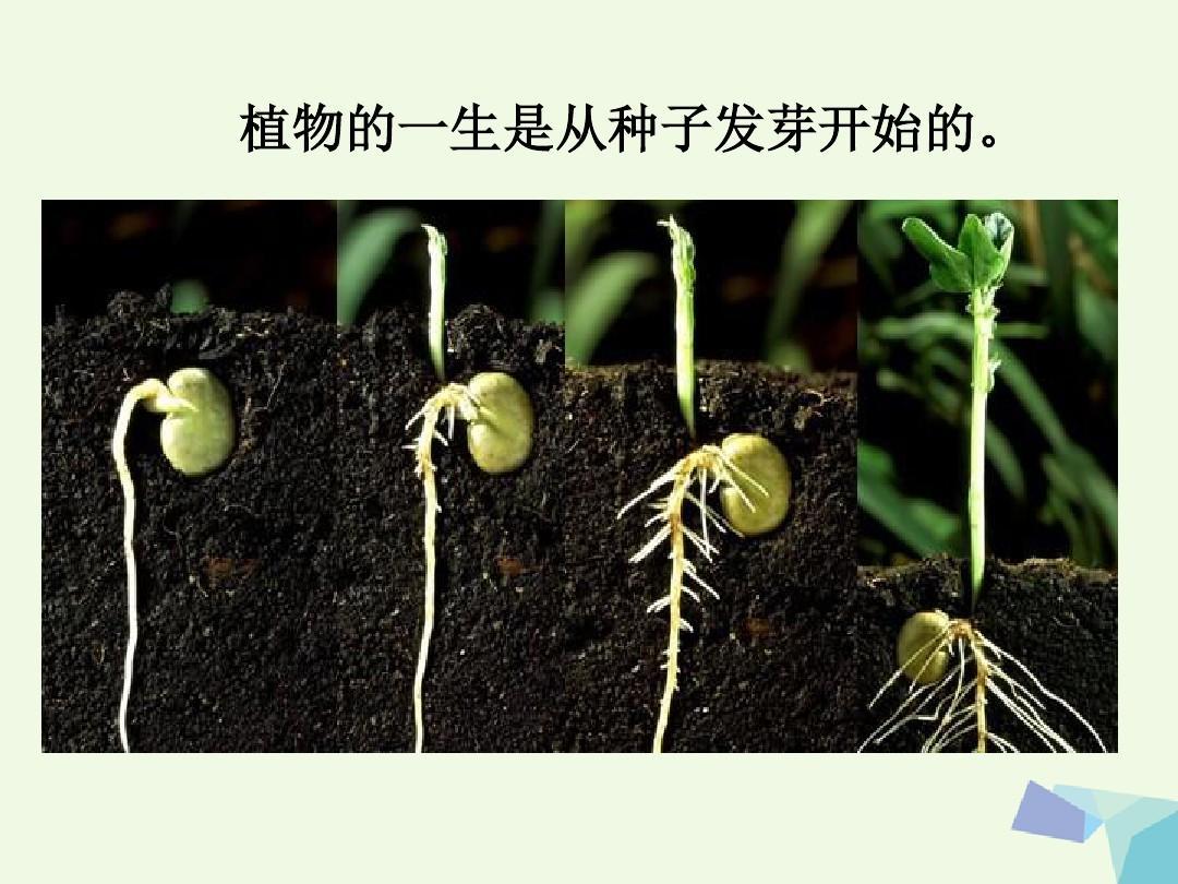 1种子发芽实验一课件4教科版ppt