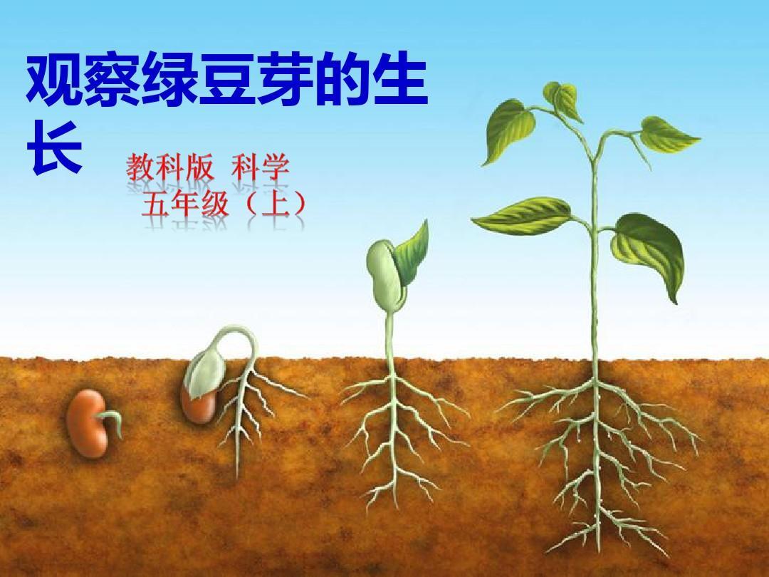 《v基础绿豆芽的生长》基础性基础口语ppt教案课件教学ppt图片