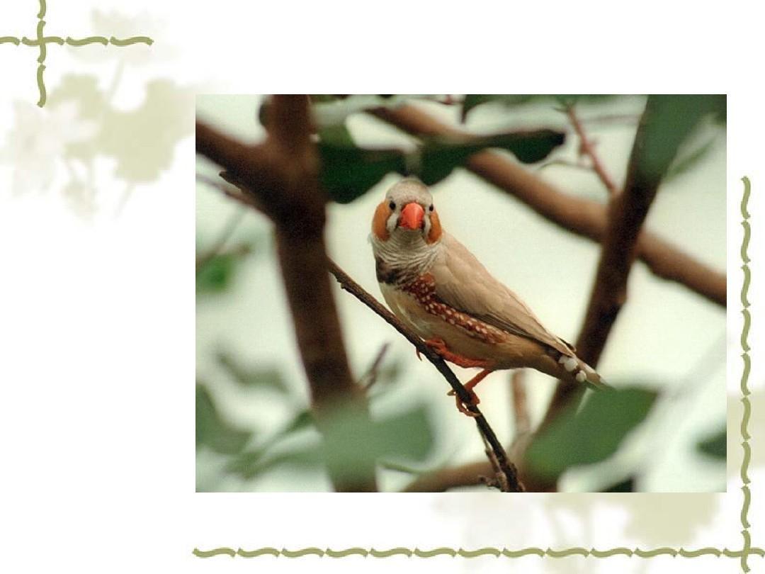 苏教版语文本四国标语文上册《珍珠鸟》ppt教七年级下册年级备课组v语文计划图片