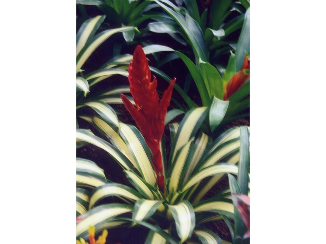 凤梨科植物ppt