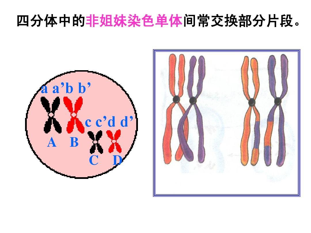 过程形成与有性生殖减数的轱辘,课件和卵细胞的轱辘精子ppt细胞中班形成转分裂车轮图片