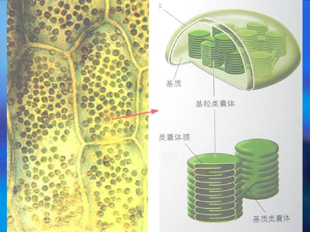 叶绿体的结构ppt图片