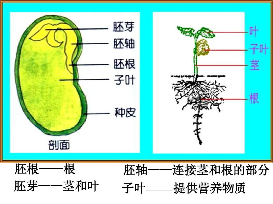 6.1种子萌发时形成幼苗ppt