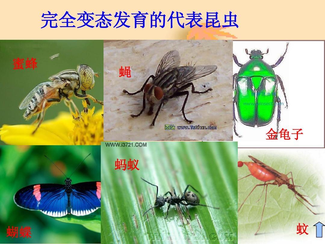 完全变态发育的代表昆虫 蜜蜂 蝇