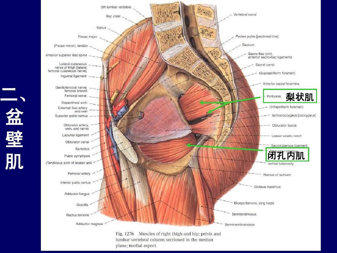 15女性人体捰体_女性盆部和会阴断层面解剖-人体断层解剖学-课件-15ppt
