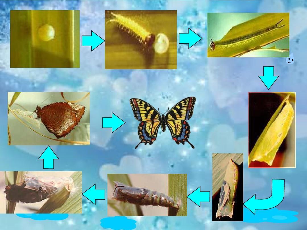 蝴蝶的成长过程ppt图片