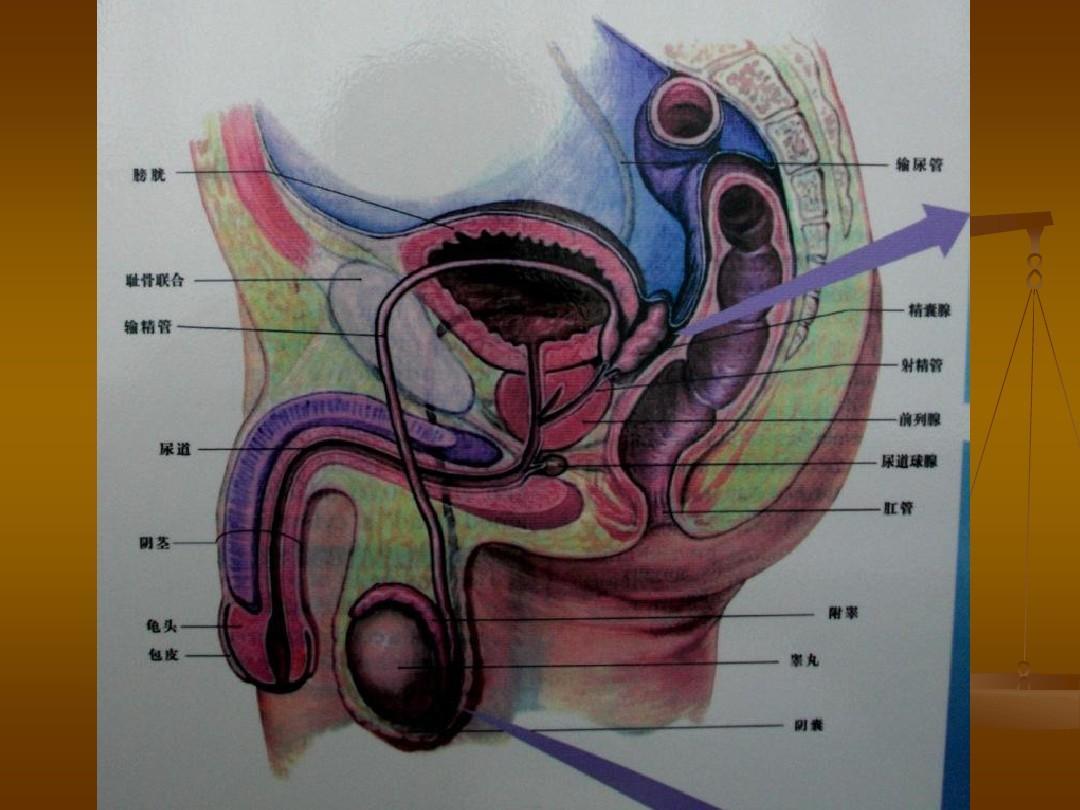 阴茎大小种类_无忧文档 所有分类 医药卫生 临床医学 阴茎延长术ppt