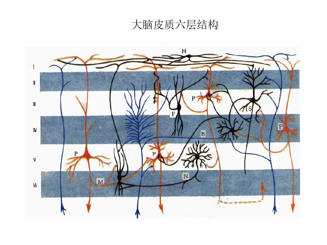 大脑皮质六层结构 皮质结构图片