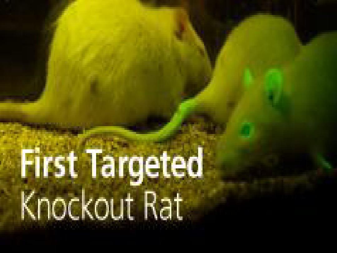 大鼠 锌指基因敲除