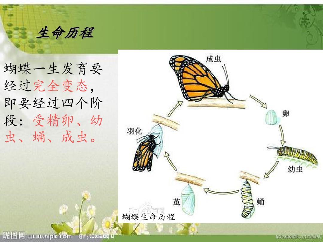 蝴蝶生长过程_蝴蝶生长过程简笔画剧情介绍