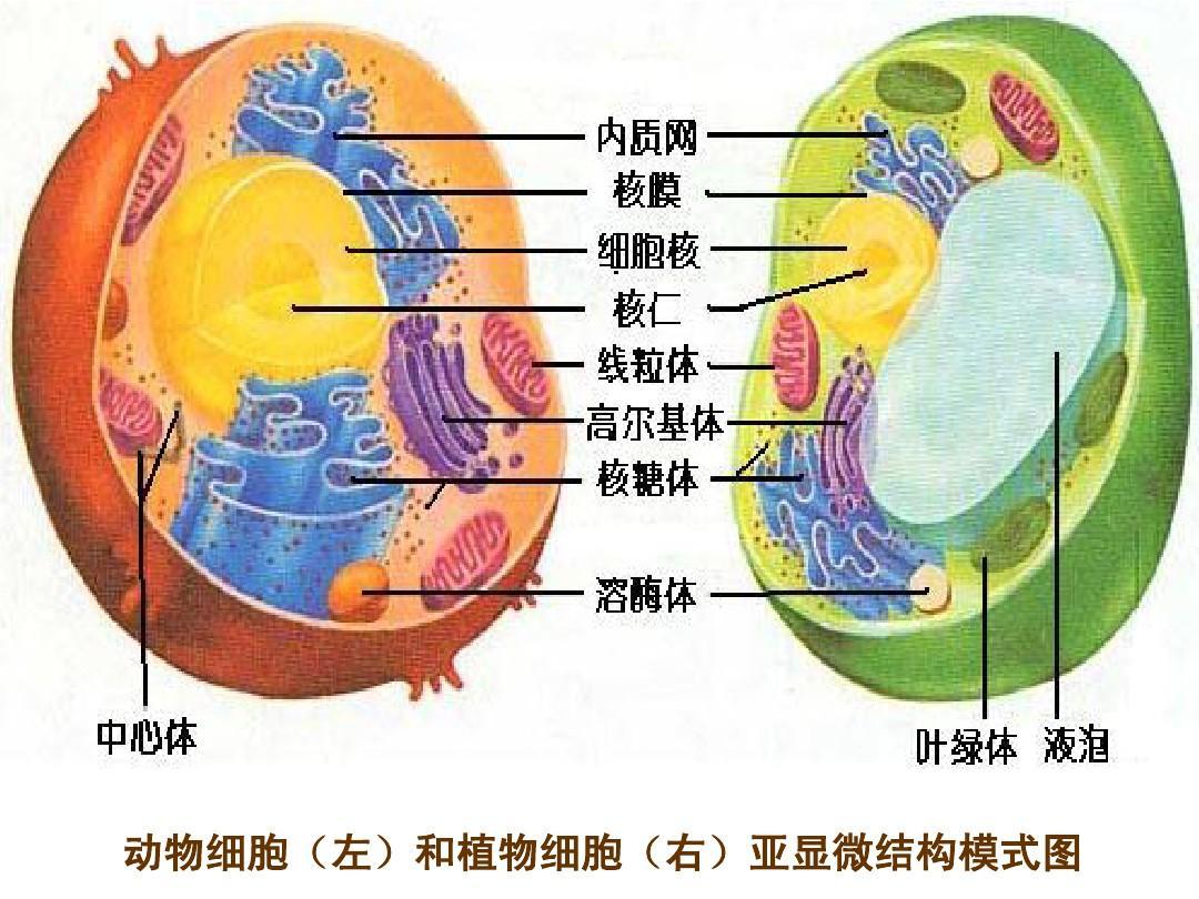 动植物细胞的异同点_动物细胞(左)和植物细胞(右)亚显微结构模式图PPT_word文档在线 ...