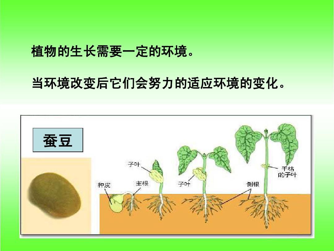 教科版五年级科学上册《观察绿豆芽的生长》 课件ppt图片