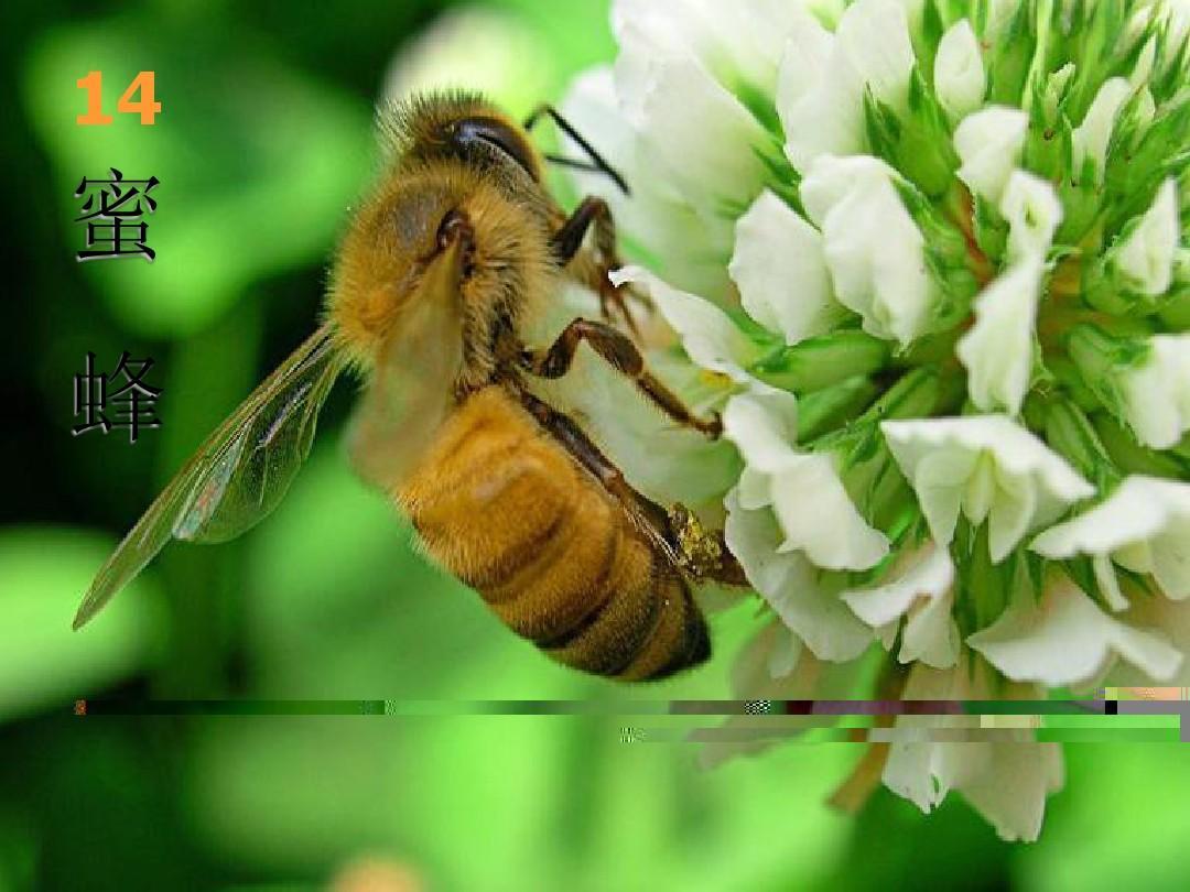 14,蜜蜂 亨利· 法布尔(1823—1915)法国著名科学家,科普作 家,是第图片