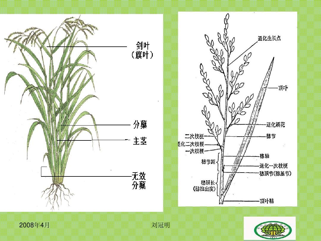 水稻的生长发育特性ppt图片