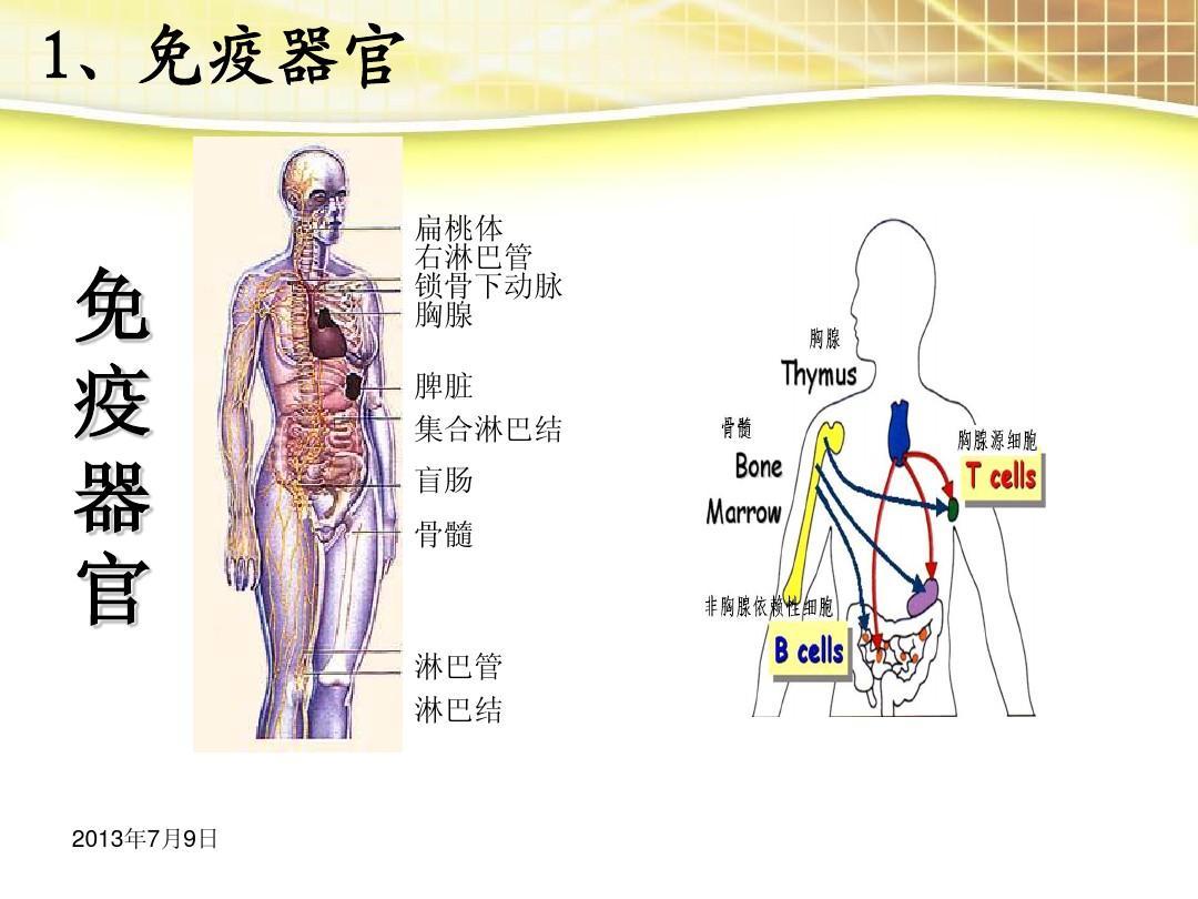 人体系统_人体与亚健康(共10节,第9节 免疫系统与亚健康)ppt