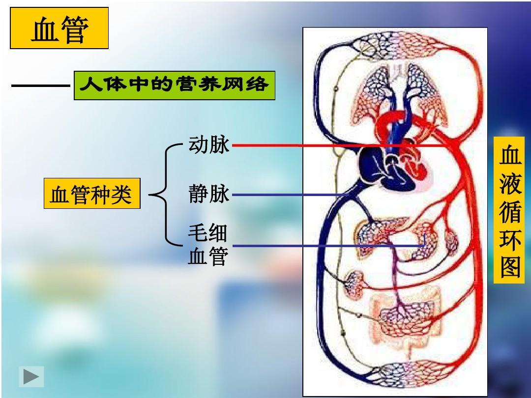 人体血分布�_10.2人体的血液循环——公开课ppt
