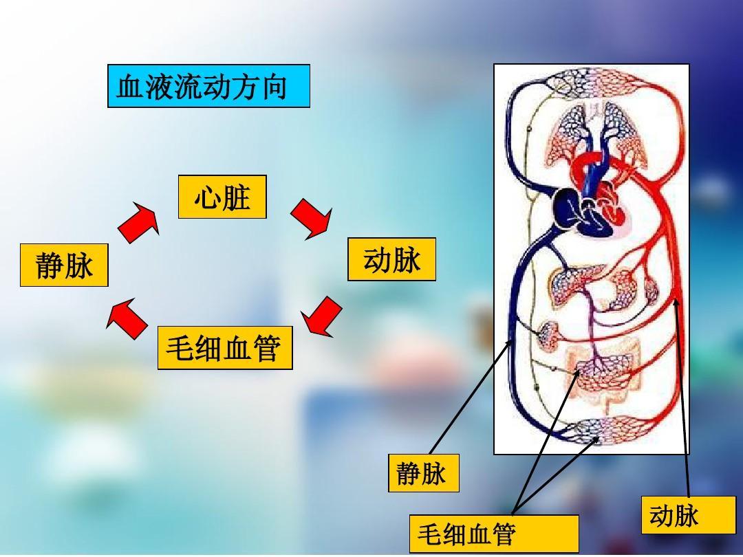 10.2人体的血液循环——公开课ppt图片