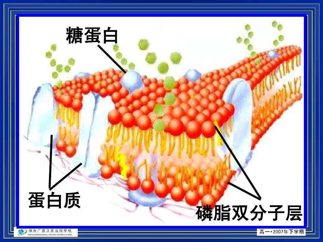 磷脂双分子层ppt  第1页 (共21页,当前第1页) 你可能喜欢 磷脂酶d