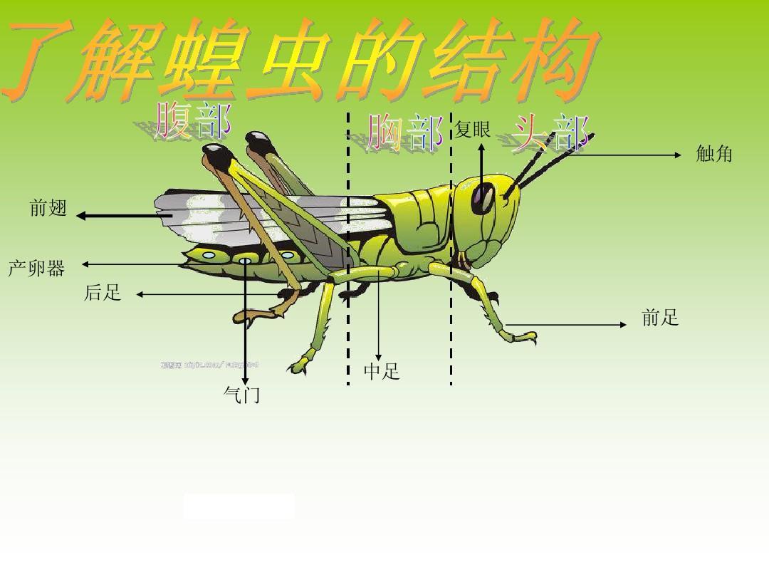 复眼 触角 前翅 产卵器 后足 前足 中足 气门图片
