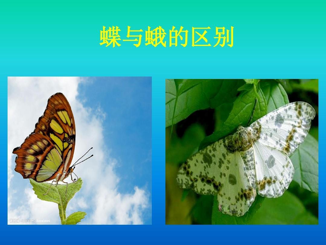 蝴蝶的介绍及其发育过程ppt