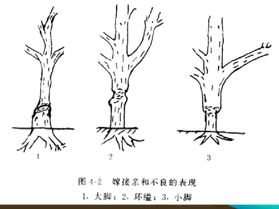文档网 所有分类 农林牧渔 林学 果树嫁接原理和技术ppt  第9页 (共38图片