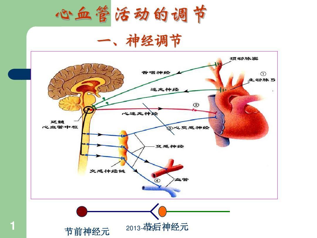 心血管系统的调节