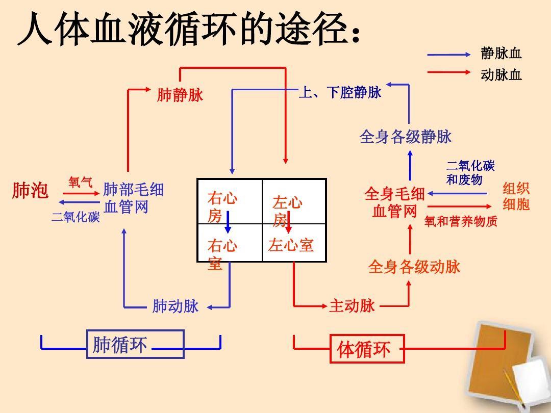 展板 人体血液循环的途径图:ppt图片