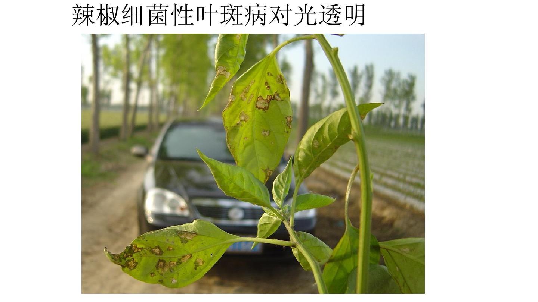 辣椒细菌性叶斑病对光透明图片