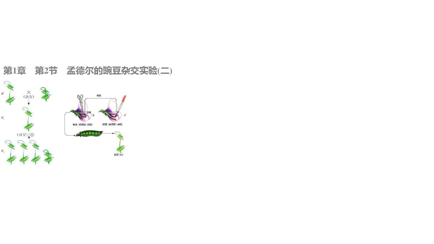 高中生物 1.2.1 ��ο�π�畹碾s交����^程、解�和��C�n件 新人教版必修2